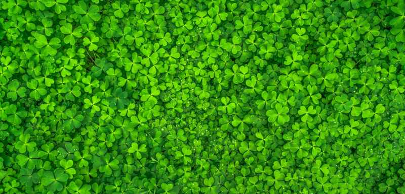 top view photo of clover leaves